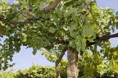 Wijngaarden Stock Foto's