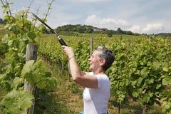 Wijngaarden, bernkastel-Kues, Duitsland stock fotografie