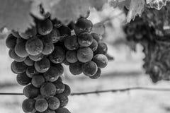 Wijngaarden bij Sonoma-vallei stock foto's