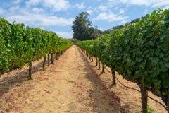 Wijngaarden bij Sonoma-vallei stock afbeelding