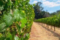 Wijngaarden bij Sonoma-vallei royalty-vrije stock fotografie