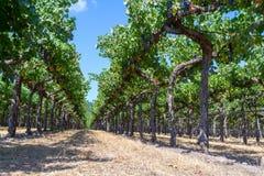 Wijngaarden bij Sonoma-vallei stock foto