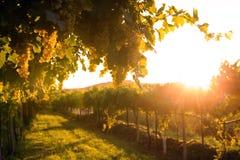 Wijngaarden bij zonsondergang Stock Fotografie