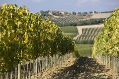 Wijngaarden bij zonsondergang Stock Foto