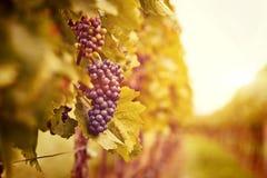 Wijngaarden bij zonsondergang in de herfstoogst Royalty-vrije Stock Foto's