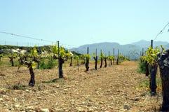 Wijngaarden in bloemen in Cretan Royalty-vrije Stock Foto