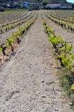 Wijngaarden in bloemen in de campagne Stock Fotografie
