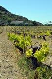 Wijngaarden in bloemen in de campagne Royalty-vrije Stock Foto's