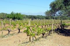 Wijngaarden in bloemen in de campagne Stock Foto's