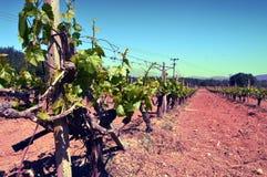 Wijngaarden in bloemen in de campagne Royalty-vrije Stock Foto