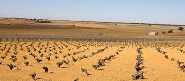 Wijngaarden in Castilla La Mancha, Spanje. Stock Foto