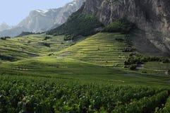 Wijngaarden in Chomoson in Zwitserland Stock Fotografie