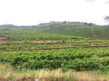 Wijngaarden in Collioure Frankrijk Royalty-vrije Stock Foto's