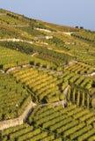 Wijngaarden in de Herfst stock fotografie