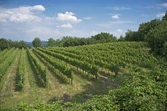 Wijngaarden in de Italiaanse heuvels Royalty-vrije Stock Foto