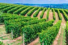 Wijngaarden in de Provincie van Cuneo, Piemonte, Italië stock afbeeldingen