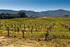 Wijngaarden in de uitlopers. Stock Afbeeldingen