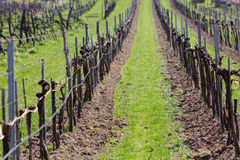 Wijngaarden in de Wachau-vallei in de lente Lager Oostenrijk Stock Fotografie