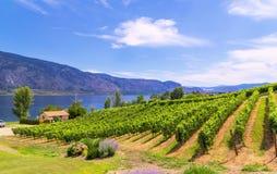 Wijngaarden in de zomerkleuren Stock Foto