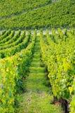 Wijngaarden dichtbij Auxerre, wijnstokken van Bourgondië Frankrijk royalty-vrije stock foto