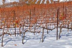 Wijngaarden die met sneeuw worden behandeld stock foto