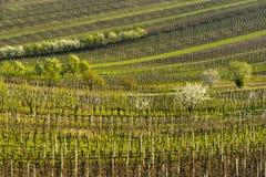 Wijngaarden en fruitbomen in de lente Stock Foto