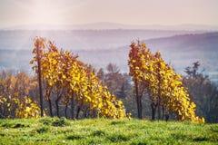 Wijngaarden en organische druif op wijnstoktakken Royalty-vrije Stock Fotografie