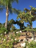 Wijngaarden en rozen, Temecula, CA Stock Afbeelding