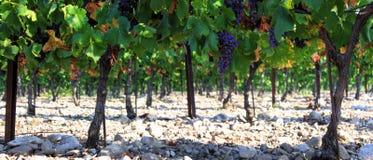 Wijngaarden in Frankrijk stock afbeeldingen