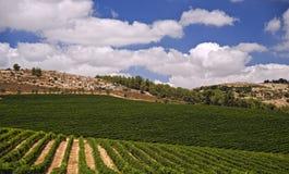 Wijngaarden in Galilee Royalty-vrije Stock Afbeelding