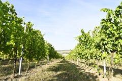 Wijngaarden in gebied het Zuid- van Moravië, Tsjechische Republiek Royalty-vrije Stock Foto