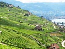 Wijngaarden in gebied Lavaux Royalty-vrije Stock Fotografie