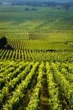Wijngaarden in Gevrey chambertin Bourgondië Frankrijk Royalty-vrije Stock Fotografie