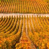 Wijngaarden in het de herfstseizoen, Bourgondië, Frankrijk stock foto