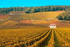 Wijngaarden in het de herfstseizoen, Bourgondië, Frankrijk stock afbeeldingen