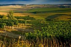 Wijngaarden in III augustus stock afbeelding