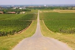 Wijngaarden in Ilok Royalty-vrije Stock Foto's