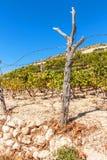 Wijngaarden in Kroatië op het Eiland Hvar Het kweken van wijn op Adriatic Geschermde wijngaard op steenachtige grond Een zonnige  stock afbeeldingen