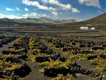 Wijngaarden in La Geria, Lanzarote, Spanje royalty-vrije stock foto's