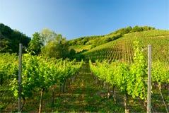 Wijngaarden langs de Moezel stock afbeeldingen