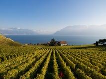 Wijngaarden in Lavaux, Zwitserland Stock Afbeelding