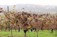 Wijngaarden in oktober Stock Afbeelding