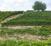 Wijngaarden in Oltrepo Pavese (Italië) Royalty-vrije Stock Foto's