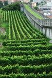 Wijngaarden onder de borstwering in Bellinzona. Stock Foto's