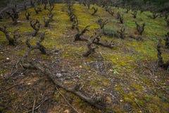 Wijngaarden op de helling, Evbia, Griekenland Royalty-vrije Stock Afbeeldingen