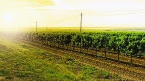 Wijngaarden op de overzeese kust van de Zwarte Zee stock afbeelding
