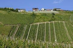Wijngaarden op het de wijndorp van Moezel, Duitsland stock afbeeldingen