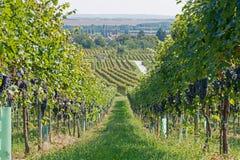 Wijngaarden op Sunny Day in Autumn Harvest Landscape met Organische Druiven op Wijnstoktakken Rijpe druiven in daling Royalty-vrije Stock Foto