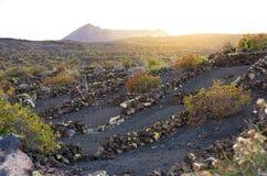 Wijngaarden op vulkanisch land in Lanzarote royalty-vrije stock afbeelding