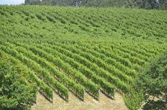 Wijngaarden in Oregons-Wijnland Stock Afbeelding